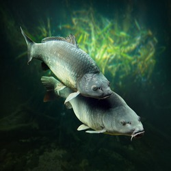 Underwater photo of a spawning big Carps (Cyprinus Carpio).