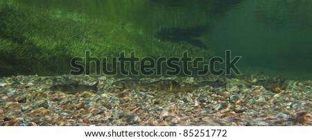 Underwater photo of arctic chars (Salvelinus alpinus) in clear water river, Greenland.