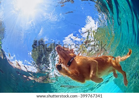 Underwater photo of golden labrador retriever puppy in outdoor swimming pool play with fun - jumping and diving deep down. Activities and games with family pets and popular dog on summer holiday. #399767341