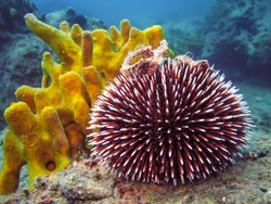 Underwater photo of Purple Sea Urchin in natural habitat the sea with yellow coral in background. Blue sea