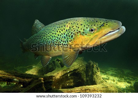 Underwater photo of The Brown Trout (Salmo Trutta) in a mountain lake. Close up with shallow DOF.