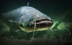 Underwater photo of The Catfish (Silurus Glanis). Biggest predatory fish in European lakes and river.