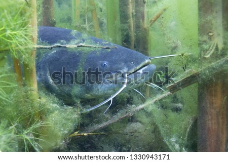 Underwater photo of The Catfish (Silurus Glanis). Biggest predatory fish in European lakes and river. Wild life animal. European Catfish swimming in the nature habitat with nice background.  Сток-фото ©