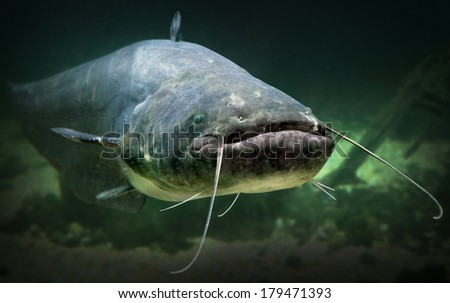 Underwater photo of The Catfish Silurus Glanis Biggest predatory fish in European lakes and river