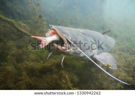 Underwater photo of The Catfish (Silurus Glanis). European Catfish attack. Biggest predatory fish in European lakes and river. Wild life animal. Catfish in the nature habitat with nice background.