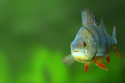 Underwater photo of The European Perch - Perca fluviatilis. Picture with copy space.