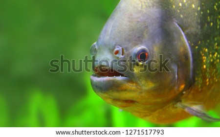 Underwater photo of The Piranha in Amazon River. Brazil nature and animals. Picture with space for your text.