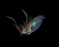 underwater photo squid captured at night