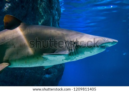 underwater picture of a large Ragged Tooth Shark or Sand Tiger Shark, one of the vulnerable sea species, lives in all warm oceans (circumtropical) with 320cm maximum size and 250 long and sharp teeth.