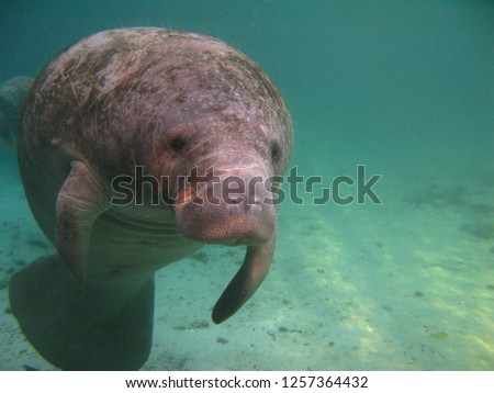 Underwater picture of a manatee in a Florida spring