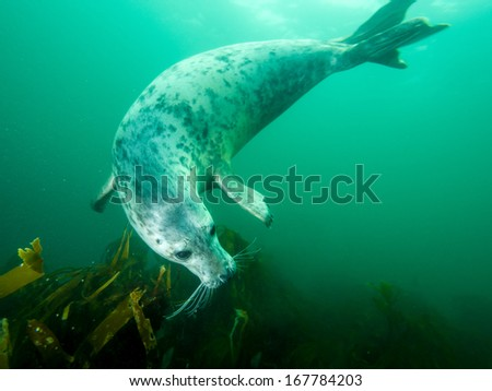 Underwater picture of grey seal in North Sea