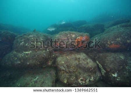 Underwater reef consisting of large boulders covered with short algae and colorful encrusting invertebrates on overhangs. #1369662551