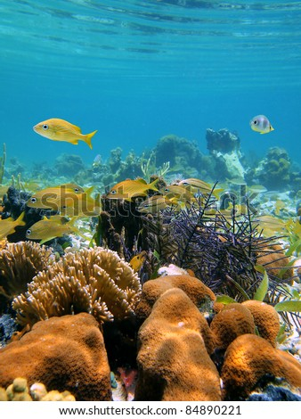 Underwater reef with corals near water surface and a school of grunt fish in the Caribbean sea, Bocas del Toro, Panama