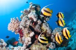 Underwater scene. Coral reef, colorful fish groups in clean sea water.