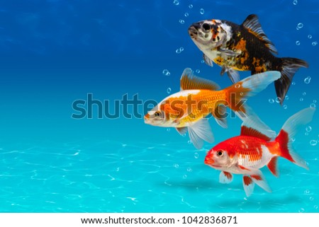 Stock Photo Underwater scene with two colorful fishes and bubbles, collage with aquarium goldfish on turquose background with copyspace, fish tank with decorative carassius gibelio forma auratus