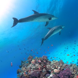 Underwater scene with two dolphins and colorful coral reef full of red fish. Marine life postcard