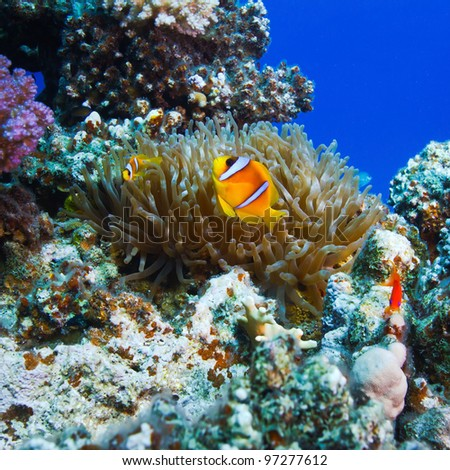 underwater scenery coral garden with anemone and a family of yellow clownfish