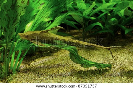 underwater scenery including a whiptail catfish in natural ambiance