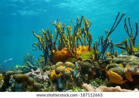 Underwater scenery with colorful marine life in a coral reef of the Caribbean sea, Mexico #187112663
