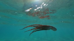 Underwater scuba photo of octopus swimming in tropical exotic turquoise sandy pacific ocean beach