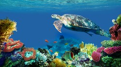 underwater sea turtle swims red sea