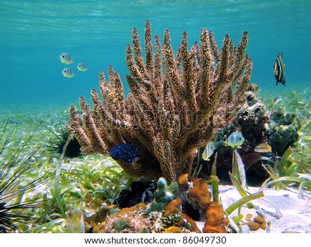 Underwater seabed with black sea rod coral and tropical fish in the Caribbean sea, Mayan Riviera, Mexico