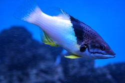 Underwater shoot of a funny fish with open mouth fining in blue clear water