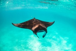 Underwater shot of a beautiful manta ray swimming peacefully in the wild