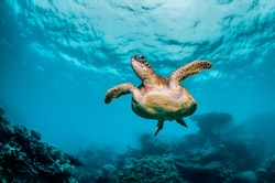 Underwater shot of a sea turtle swimming freely in the wild among beautiful coral reef