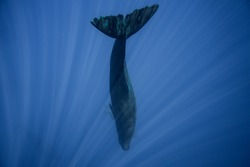 Underwater shot of a sperm whale in the clear water of the ocean. Mauritius