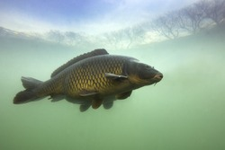 Underwater shot of the fish (Carp of the family of Cyprinidae) in a pond. Common Carp (Cyprinus carpio) with beautiful background. Live in the river habitat.