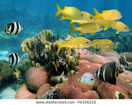 Underwater tropical fish in a coral reef of the Caribbean sea