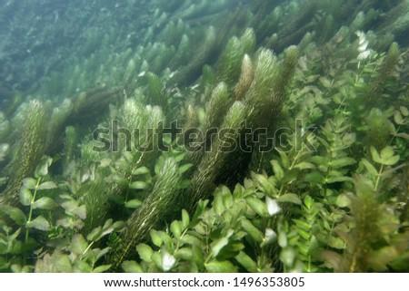 Underwater vegetation f the Una River, Bosna