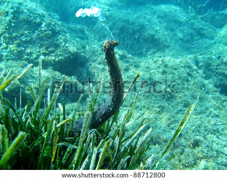Underwater view of a tubular sea cucumber, Holothuria tubulosa, spawning in the Mediterranean sea, Corsica, France