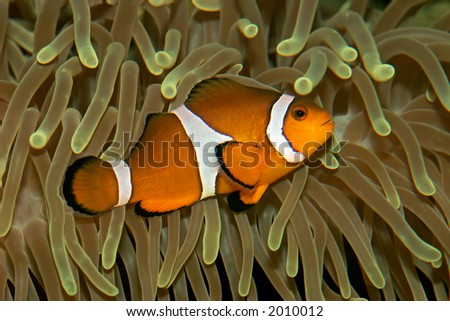 Underwater view of an Ocellaris clownfish (Amphiprion ocellaris) and sea anemone #2010012