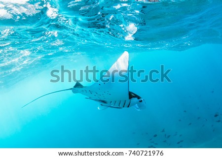 Underwater view of hovering Giant oceanic manta ray ( Manta Birostris ). Watching undersea world during adventure snorkeling tour to Manta Beach in tropical Nusa Penida island, Indonesia.  Foto stock ©