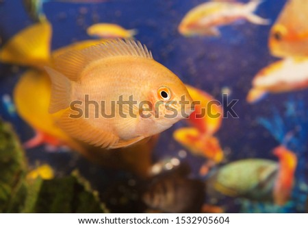 Underwater world - aquarian fishes, yellow parrot.