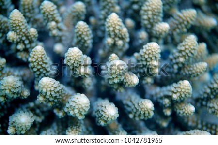 underwater world detail - macro aerial photography of acropora coral during a dive on a reef in Asia, with natural sunlgith