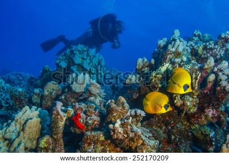 Underwater world discovered. Red sea and two bannerfish living in corals. Dark blue ocean background