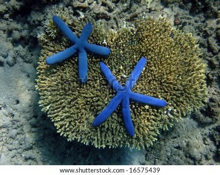 Underwater world. Gili Nanggu. Too blue starfishes on coral of Bali sea. Lombok island. Indonesia - stock photo