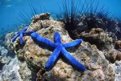 Underwater world. Two blue sea stars lie on the bottom of the sea among sea urchins.