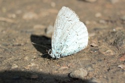 Underwing shot of a Holly Blue (Celastrina argiolus) butterfly resting on the ground.