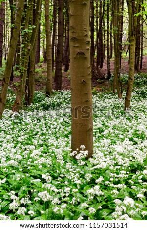 Underwood, Misk Hills, Nottinghamshire, UK.  Flowering wild Ransom Wild garlic (Allium ursinum) flowering in an ancient English deciduous woodland. #1157031514