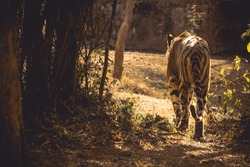 Undisputed king of the jungle walking back to it's throne at Odisha wildlife, India
