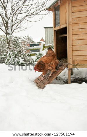 Unenthusiastic free range hen taking a closer look at the snow
