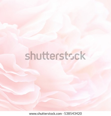 Unfocused blur rose petals, abstract romance background, pastel and soft flower card #538543420