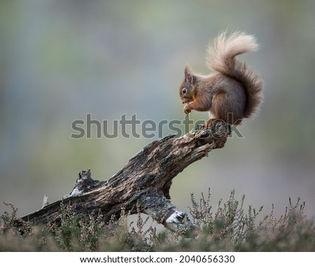 Unfortunately no snow at the squirrel hide yesterday but maybe some will appear during the week I will keep my fingers crossed.  We had a little flutter yesterday afternoon so it is possible. Stok fotoğraf ©