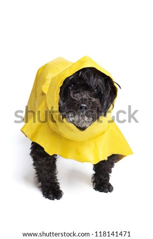 Unhappy Dog in a Raincoat Black Schnoodle (Schnauzer/Poodle mix) in a yellow raincoat on a white backdrop, fur wet from the rain.