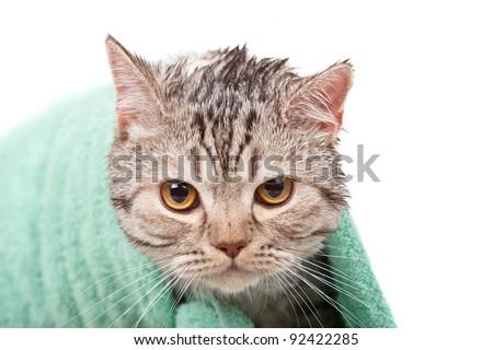 unhappy wet cat in green towel - stock photo