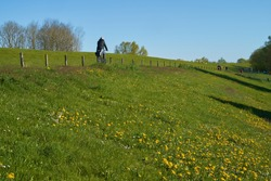 unidentifiable man is riding a bike on the dike in Oberhammelwarden (district Wesermarsch, Germany) with green grass an yellow blooming dandelions against cloudless blue sky
